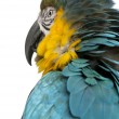 Stock Photo: Close up of Blue and Yellow Macaw, ArArarauna, in front of white background