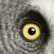 Portrait of Great Grey Owl or Lapland Owl, Strix nebulosa, a very large owl, eye — Stock Photo