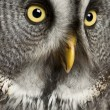 Portrait of Great Grey Owl or Lapland Owl, Strix nebulosa, a very large owl — Stock Photo