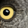 Portrait of Great Grey Owl or Lapland Owl, Strix nebulosa, a very large owl, eye — Stok fotoğraf