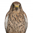 Portrait of Common Kestrel, Falco tinnunculus, a bird of prey in front of white background — Stock Photo #10907422