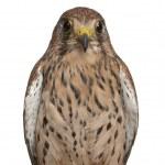 Porträt von Turmfalken Falco Tinnunculus, ein Greifvogel vor weißem Hintergrund — Stockfoto #10907422