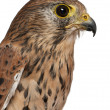 Close up of Common Kestrel, Falco tinnunculus, bird of prey in front of white background — Stock Photo #10907423