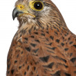 Portrait of Common Kestrel, Falco tinnunculus, a bird of prey in front of white background - Stock Photo