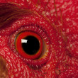 Close up of Rooster Leghorn eye — Stock Photo