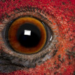 Close up of Male American Common Pheasant, Phasianus colchicus, eye — Stock Photo