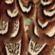 Close up of Male American Common Pheasant, Phasianus colchicus, feathers — Stock Photo