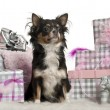 Chihuahua, 9 months old, sitting with Christmas gifts in front of white background — Stock Photo