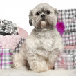 Lhasa Apso, 2 years old, sitting with Christmas gifts in front of white background — Stock Photo #10907617
