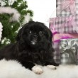 Pekingese puppy, 5 months old, lying with Christmas gifts in front of white background — Stockfoto