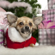 Stock Photo: Chihuahua puppy, 4 months old, lying with Christmas gifts in front of white background
