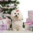 Maltese, 3 years old, sitting with Christmas tree and gifts in front of white background — Stock Photo