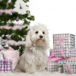 Maltese, 2 years old, sitting with Christmas tree and gifts in front of white background - Stock Photo