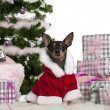Miniature Pinscher, 3 years old, wearing Santa outfit with Christmas gifts in front of white background - Stock Photo