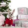 Chihuahua, 8 months old, wearing Santa outfit with Christmas gifts in front of white background — Stock Photo