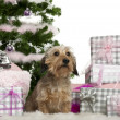 Dachshund, 3 years old, sitting with Christmas tree and gifts in front of white background - Stockfoto