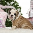 English Bulldog puppy, 2 months old, sitting with Christmas tree and gifts in front of white background — Stock fotografie