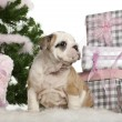 English Bulldog puppy, 2 months old, sitting with Christmas tree and gifts in front of white background — ストック写真