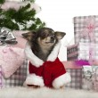 Chihuahua, 1 year old, with Christmas gifts in front of white background — Stock Photo