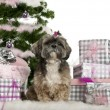 Shih Tzu, 7 years old, sitting with Christmas tree and gifts in front of white background — Stock fotografie