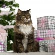 European Shorthair, 11 years old, sitting with Christmas tree and gifts in front of white background — Stok fotoğraf