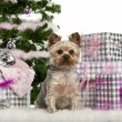 Yorkshire Terrier, sitting with Christmas tree and gifts in front of white background — Stock Photo