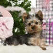 Yorkshire Terrier puppy, 3 months old, lying with Christmas gifts in front of white background — Stock fotografie
