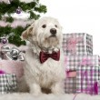 Maltese, 2 years old, sitting with Christmas tree and gifts in front of white background — Stok fotoğraf