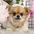 Close-up of Chihuahua, 2 years old, lying in front of Christmas gifts — Stock Photo
