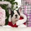 French Bulldog puppy, 13 weeks old, lying with Christmas gifts in front of white background - Stock Photo