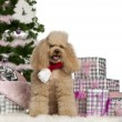 Poodle, 5 years old, sitting with Christmas tree and gifts in front of white background - Foto Stock