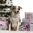 Border Collie puppy, 6 months old, sitting with Christmas tree and gifts in front of white background — Photo