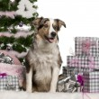 Royalty-Free Stock Photo: Border Collie puppy, 6 months old, sitting with Christmas tree and gifts in front of white background