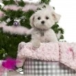 West Highland White Terrier, 6 years old, with Christmas gifts in front of white background - Stock Photo