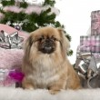 Pekingese, 4 years old, lying with Christmas gifts in front of white background — Stock Photo