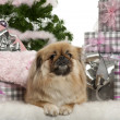 Stock Photo: Pekingese, 4 years old, lying with Christmas gifts in front of white background