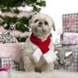 Shih Tzu, 2 years old, sitting with Christmas tree and gifts in front of white background — Foto de Stock