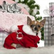 Chihuahua puppy, 3 months old, with Christmas gifts in front of white background — Stock Photo