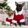 Stock Photo: Chihuahuas, 18 months old and 1 year old, wearing Santoutfit with Christmas gifts in front of white background