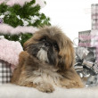 Lhasa Apso, 1 year old, lying with Christmas gifts in front of white background — Stock Photo