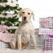 Photo: Labrador Retriever puppy, 3 months old, sitting with Christmas tree and gifts in front of white background
