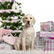 Labrador Retriever puppy, 3 months old, sitting with Christmas tree and gifts in front of white background — Stock Photo