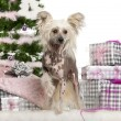 Chinese Crested Dog, 1 year old, with Christmas gifts in front of white background — Stock Photo