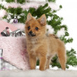Stock Photo: Japanese Spitz puppy, 4 months old, with Christmas gifts in front of white background