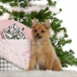 Japanese Spitz puppy, 4 months old, sitting with Christmas tree and gifts in front of white background — Foto Stock