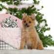 Japanese Spitz puppy, 4 months old, sitting with Christmas tree and gifts in front of white background - Photo
