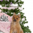 Japanese Spitz puppy, 4 months old, sitting with Christmas tree and gifts in front of white background — ストック写真