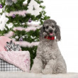 Poodle, 18 months old, sitting with Christmas tree and gifts in front of white background — Stok fotoğraf