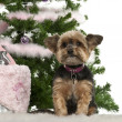 Yorkshire Terrier, 10 years old, sitting with Christmas tree and gifts in front of white background — Stock Photo