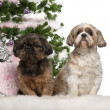 Shih Tzu, 7 years old, Shih Tzu, 10 years old, sitting with Christmas tree and gifts in front of white background — Stock Photo